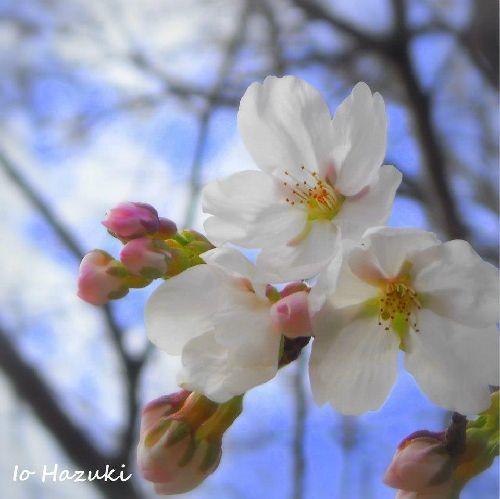 それぞれの桜_c0141013_21411323.jpg