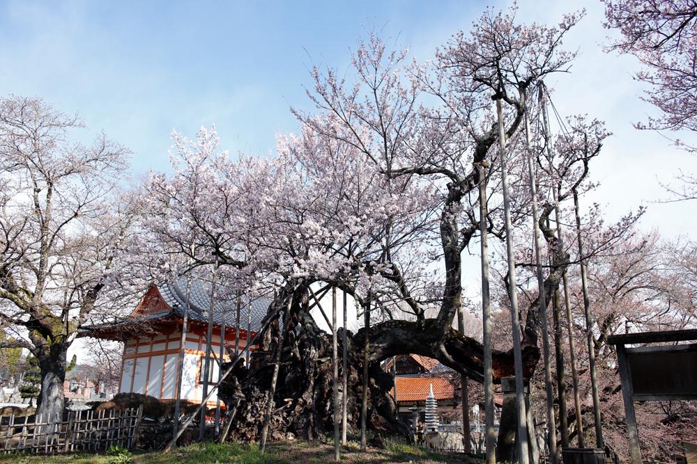 山高神代桜_d0011713_17233540.jpg