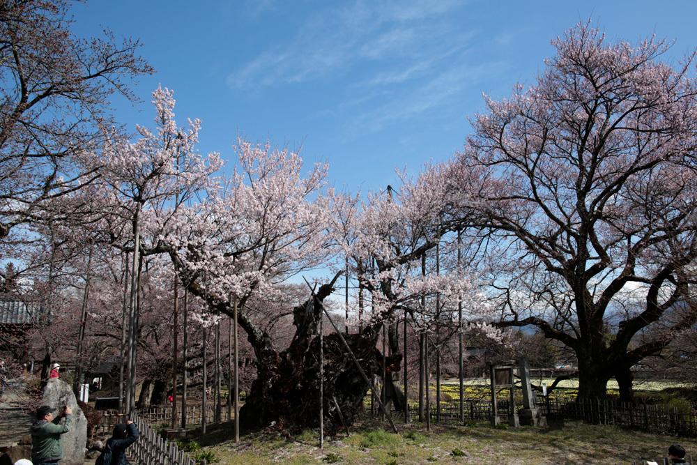 山高神代桜_d0011713_17234997.jpg