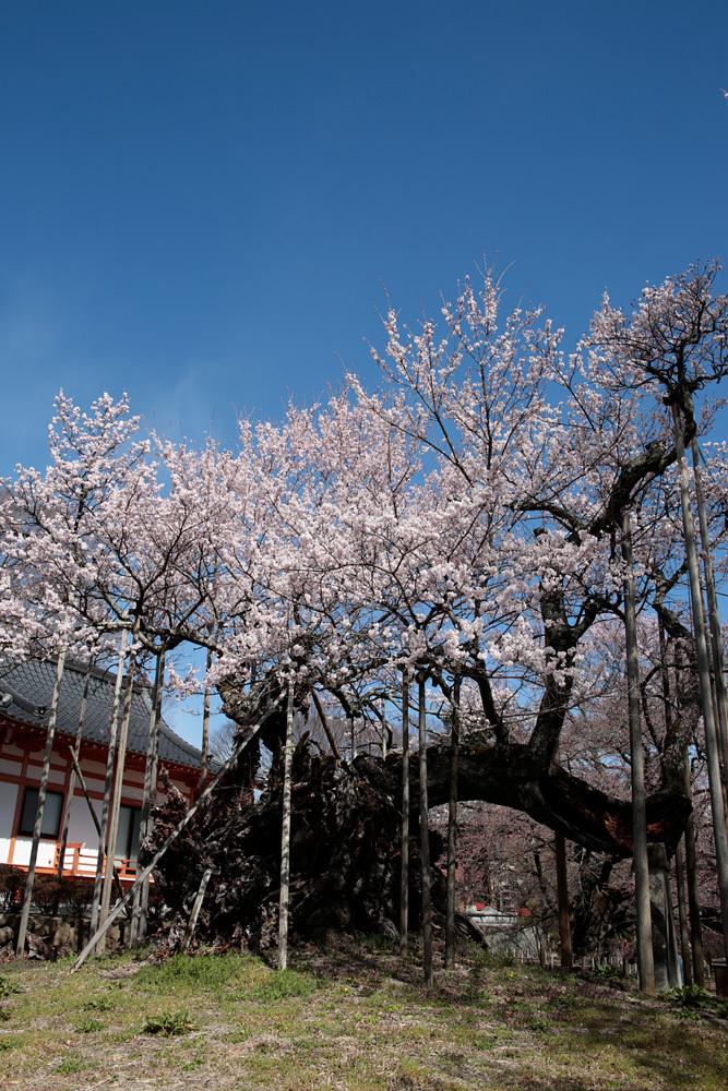 山高神代桜_d0011713_17240238.jpg