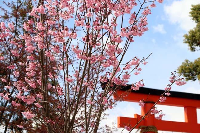 桜が揃った 上賀茂神社_e0048413_21104301.jpg