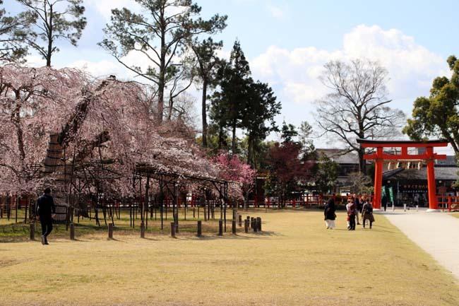 桜が揃った 上賀茂神社_e0048413_21104816.jpg