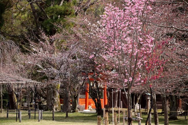 桜が揃った 上賀茂神社_e0048413_21110018.jpg