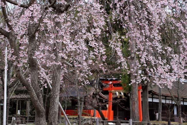 桜が揃った 上賀茂神社_e0048413_21110443.jpg