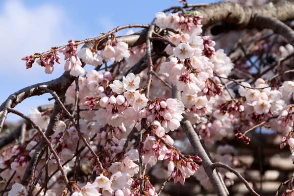 桜が揃った 上賀茂神社_e0048413_21110753.jpg