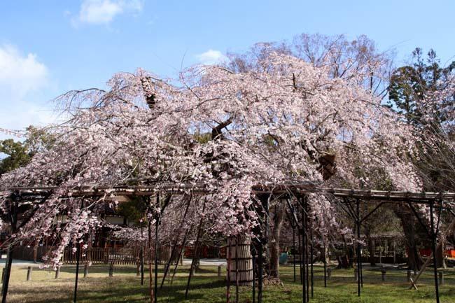 桜が揃った 上賀茂神社_e0048413_21111179.jpg