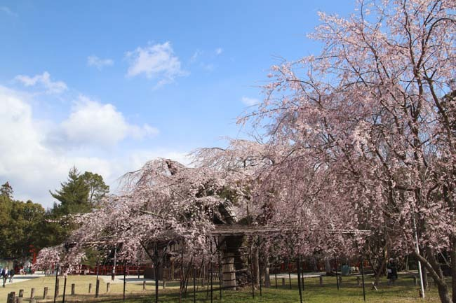 桜が揃った 上賀茂神社_e0048413_21111484.jpg