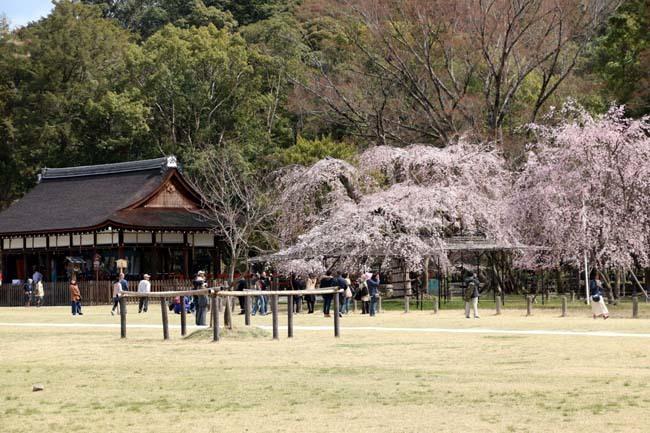 桜が揃った 上賀茂神社_e0048413_21111735.jpg
