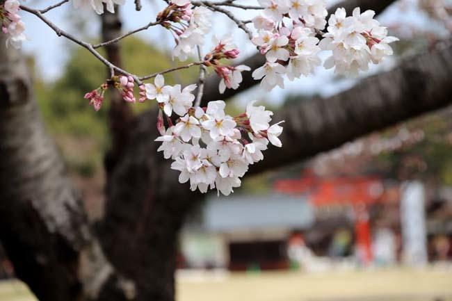 桜が揃った 上賀茂神社_e0048413_21112008.jpg