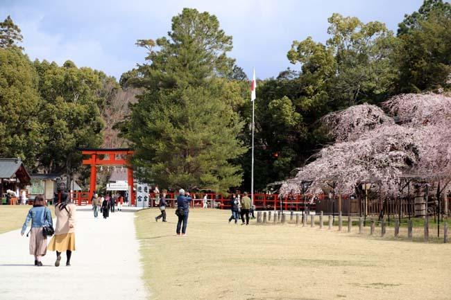 桜が揃った 上賀茂神社_e0048413_21112871.jpg