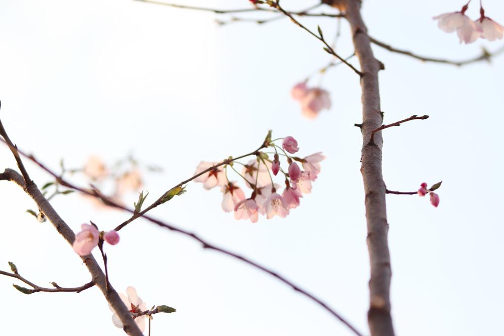 桜_e0084214_17433413.jpg