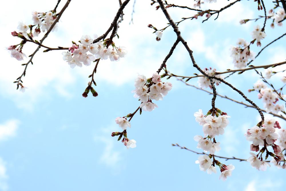 桜_e0084214_17433874.jpg