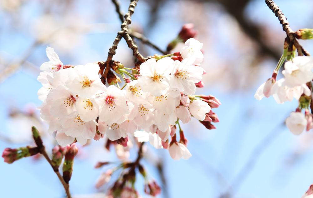 桜_e0084214_17434296.jpg
