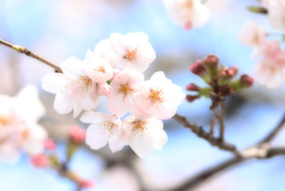 桜_e0084214_17434491.jpg