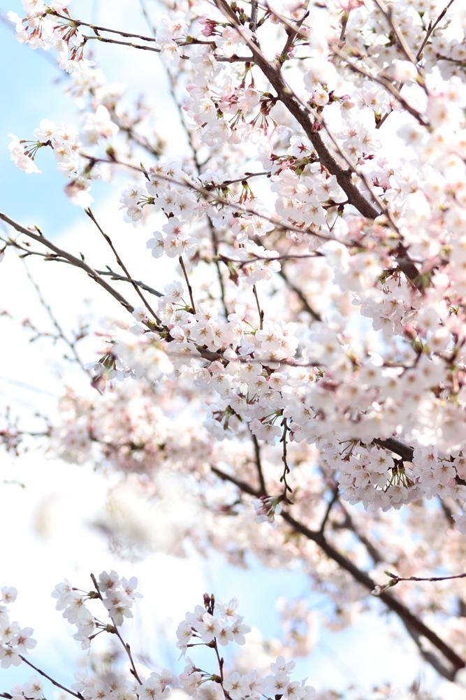 桜_e0084214_17434744.jpg