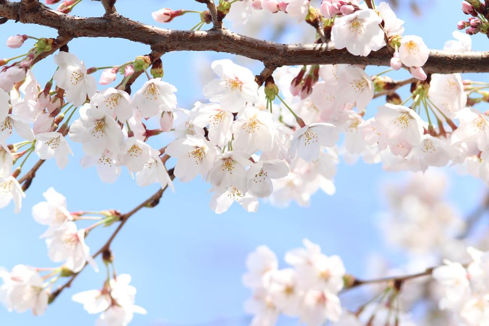 桜_e0084214_17435034.jpg