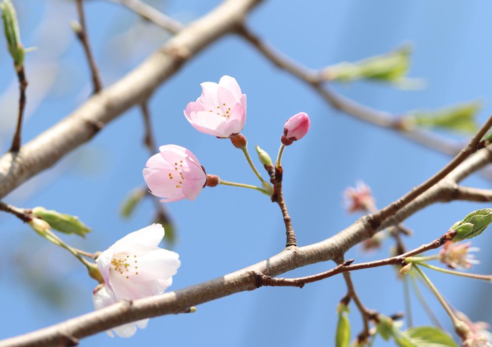桜_e0084214_17435260.jpg