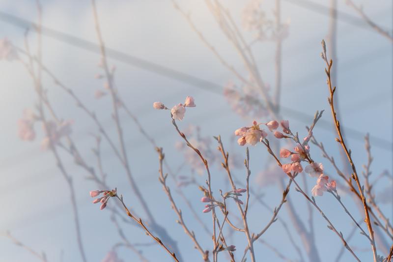 桜_e0084214_17435670.jpg