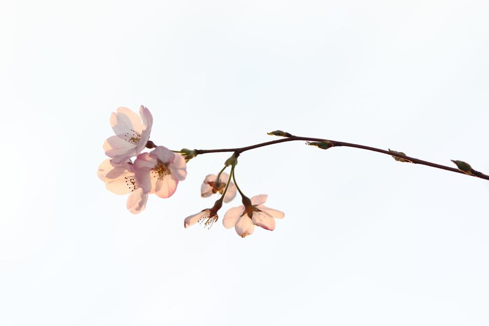 桜_e0084214_17442237.jpg