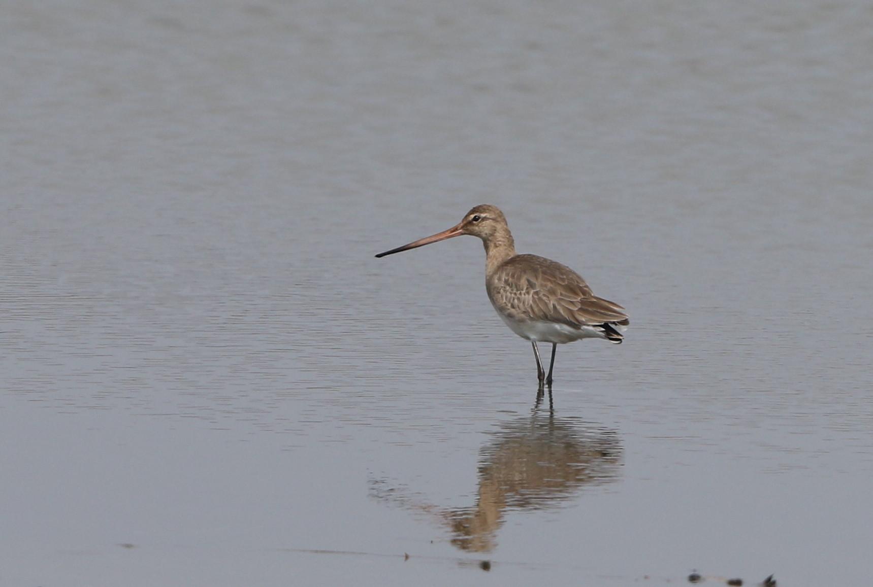 MFの沼でオグロシギを撮る_f0239515_2144426.jpg