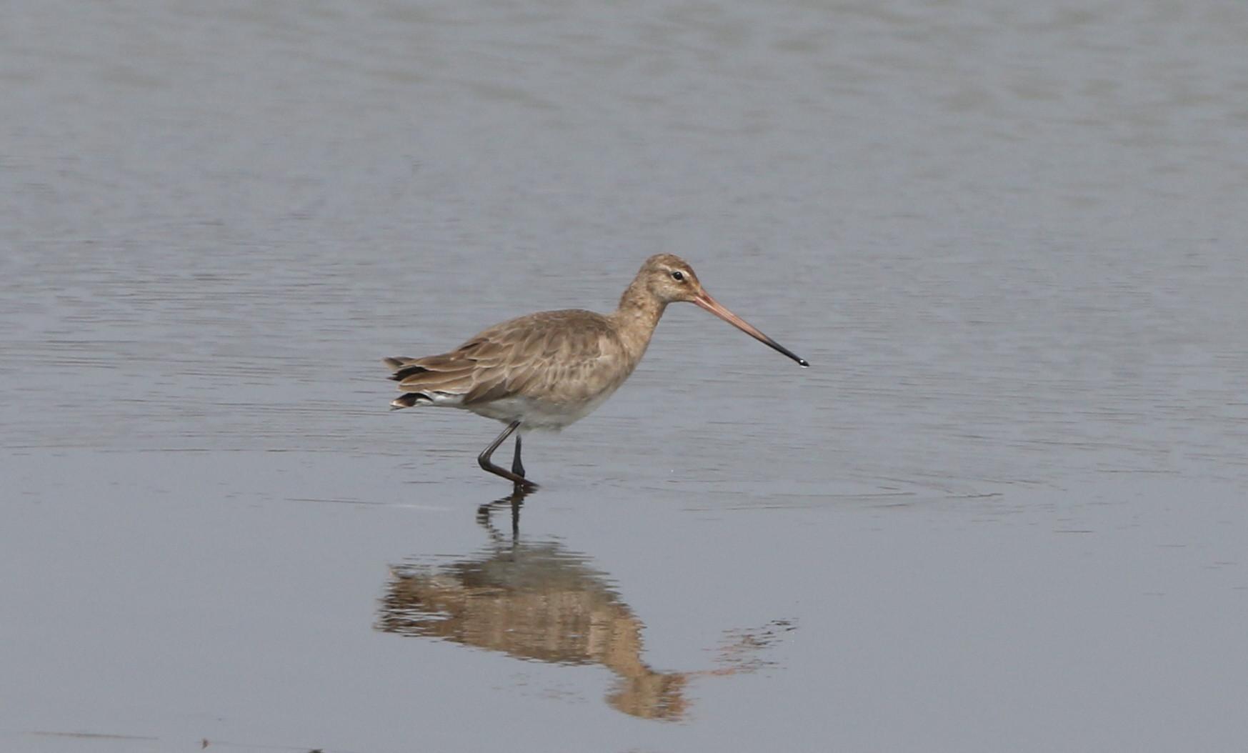 MFの沼でオグロシギを撮る_f0239515_21451911.jpg