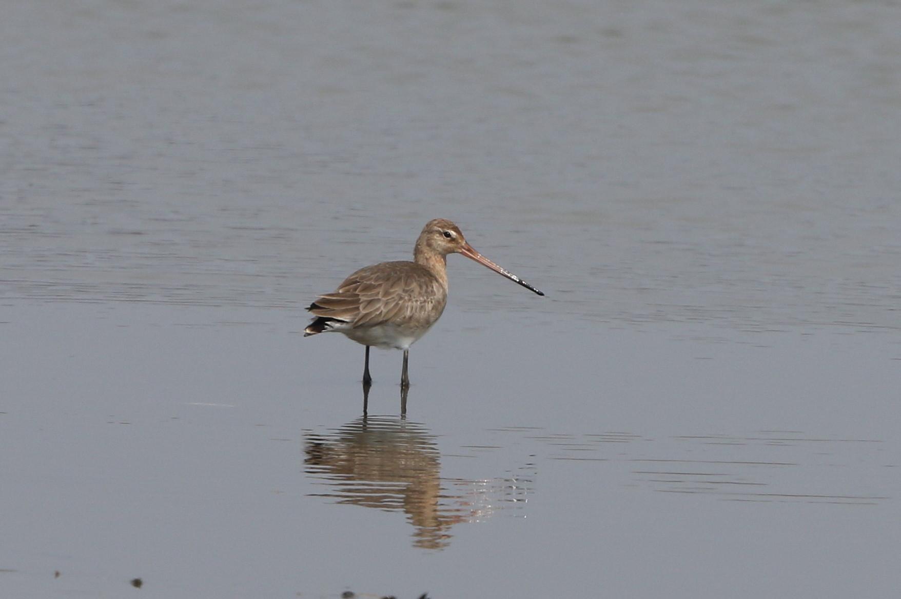 MFの沼でオグロシギを撮る_f0239515_21454377.jpg