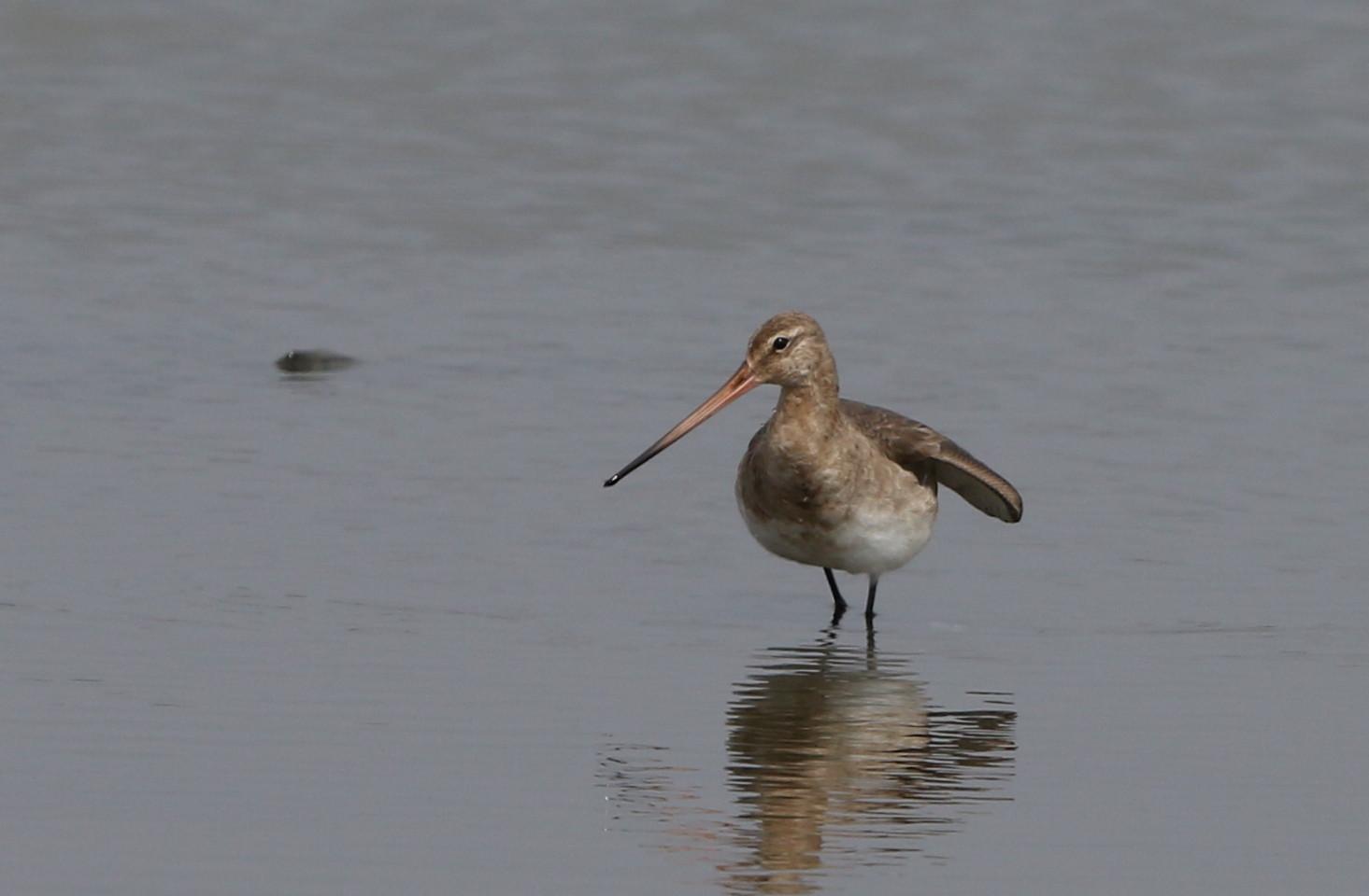 MFの沼でオグロシギを撮る_f0239515_21461967.jpg