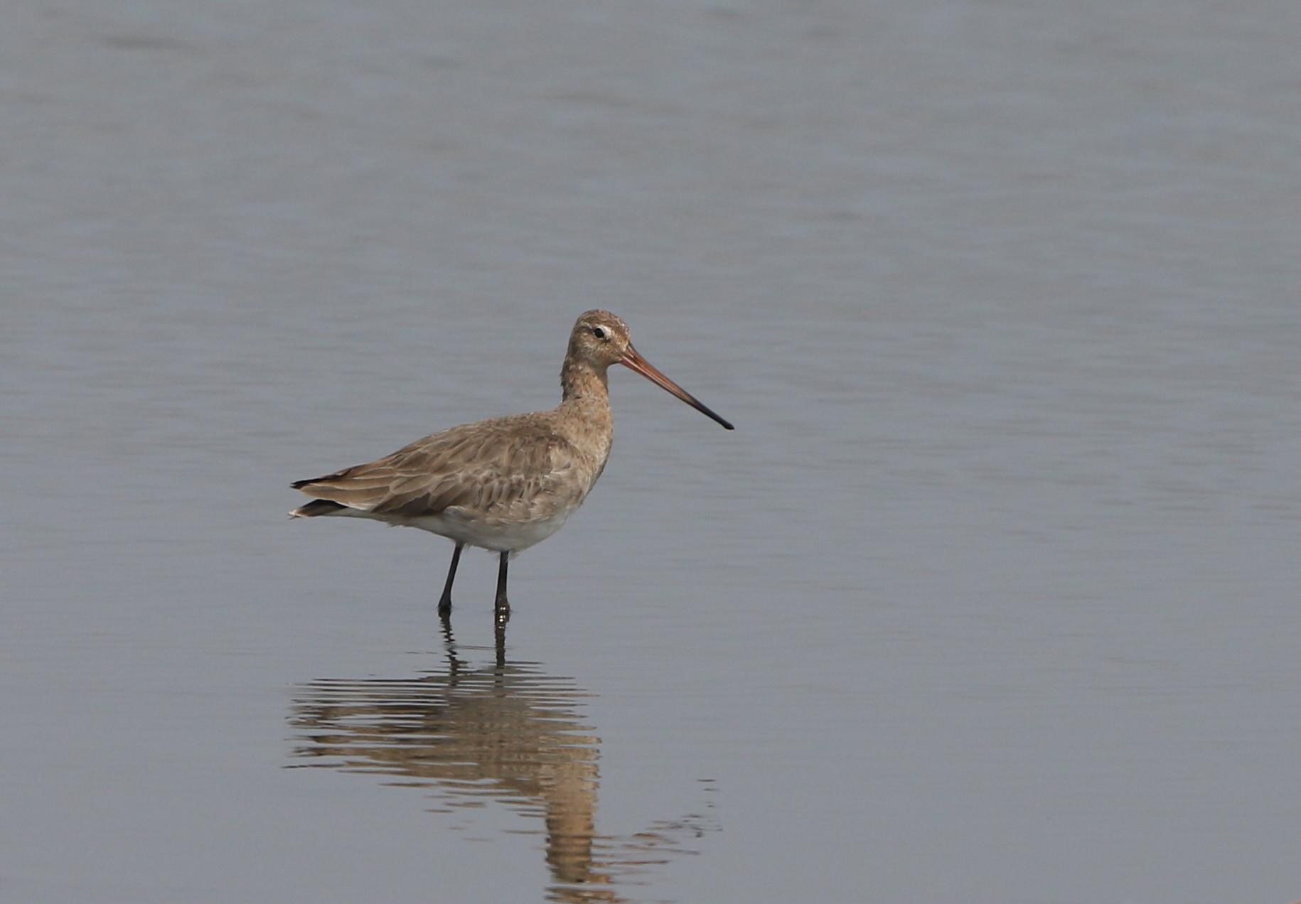MFの沼でオグロシギを撮る_f0239515_21465776.jpg