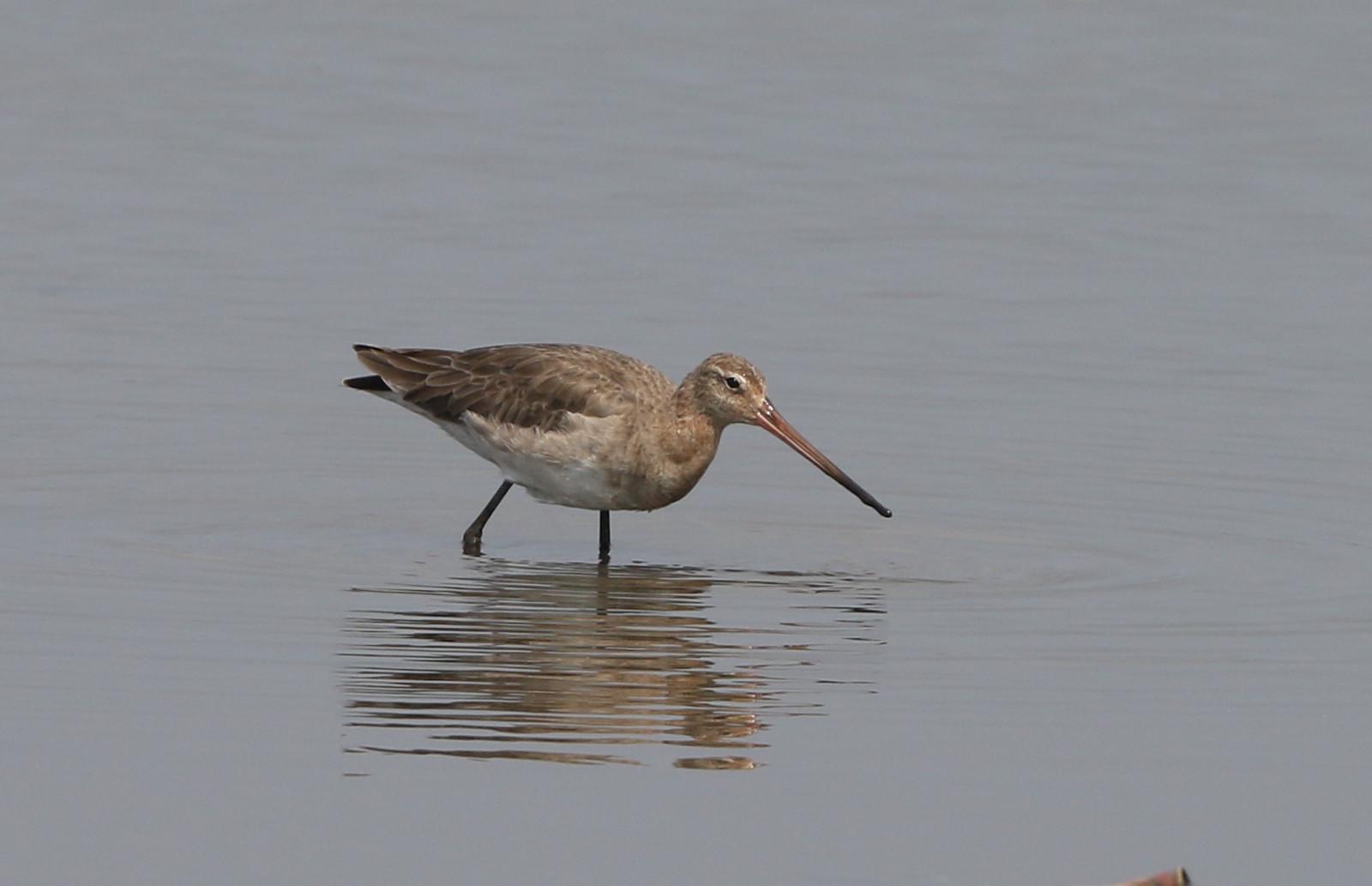 MFの沼でオグロシギを撮る_f0239515_2147319.jpg