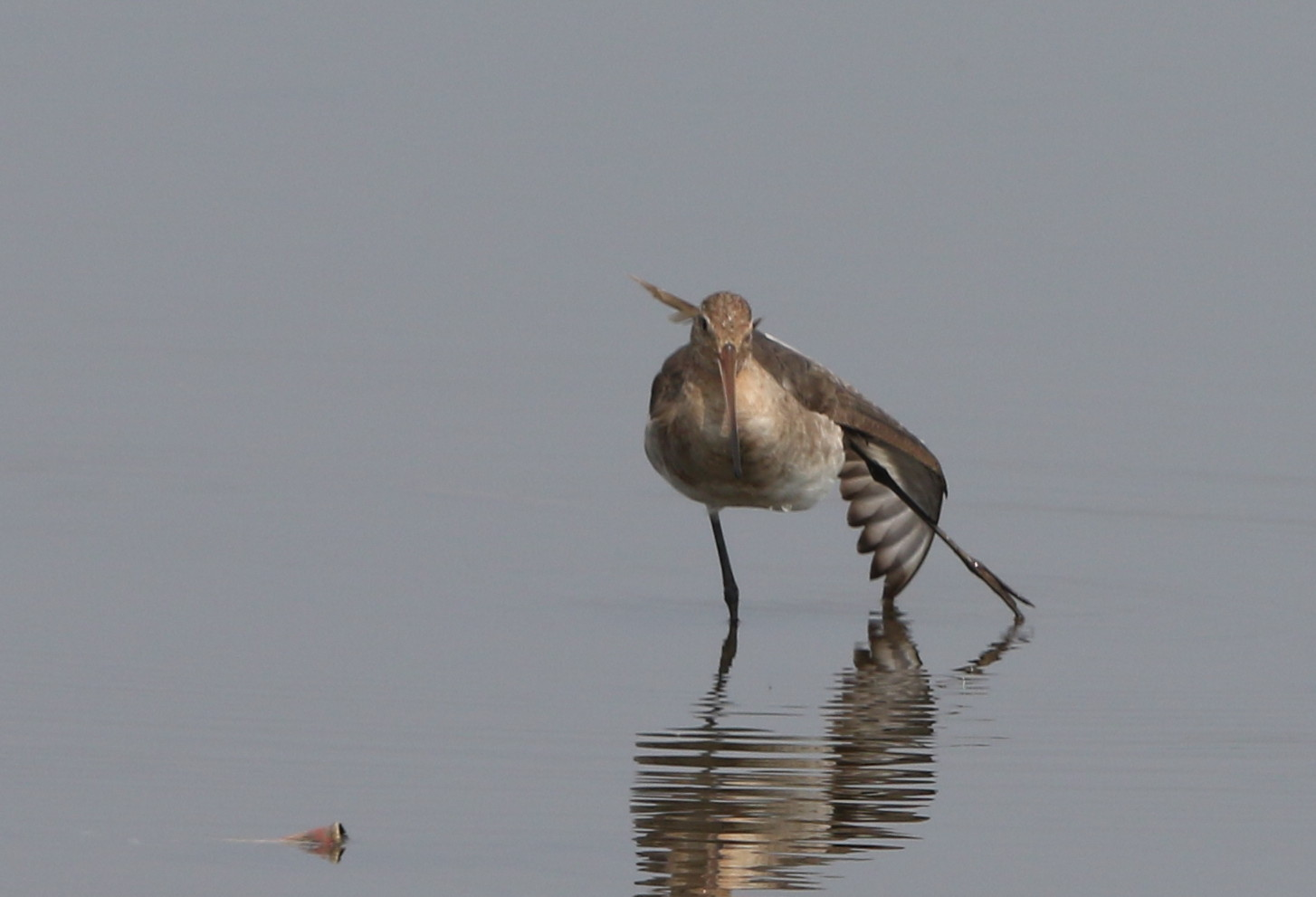 MFの沼でオグロシギを撮る_f0239515_2148387.jpg