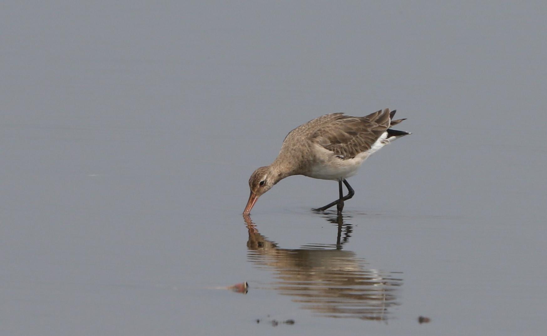 MFの沼でオグロシギを撮る_f0239515_21484256.jpg