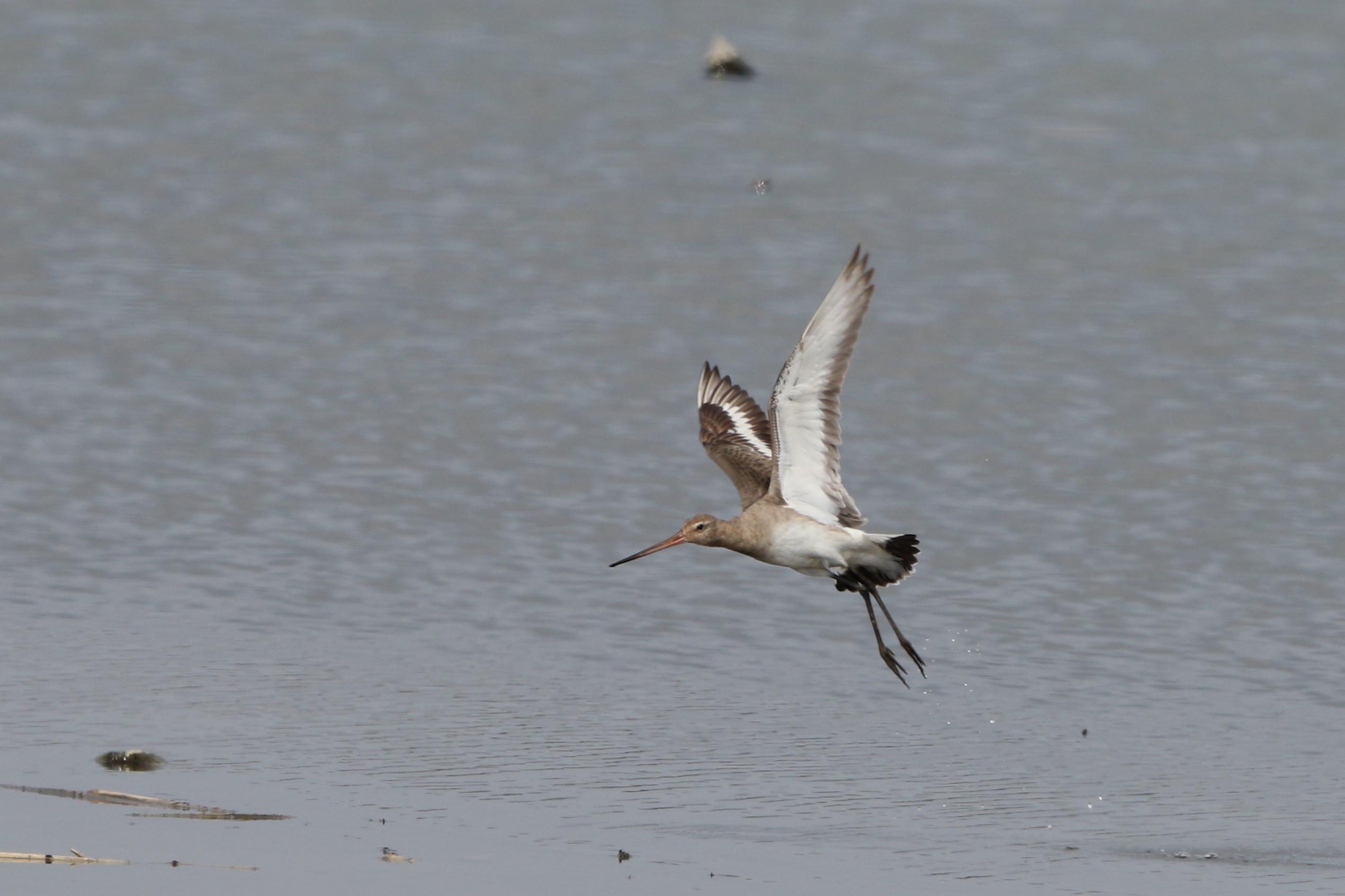 MFの沼でオグロシギを撮る_f0239515_2150038.jpg