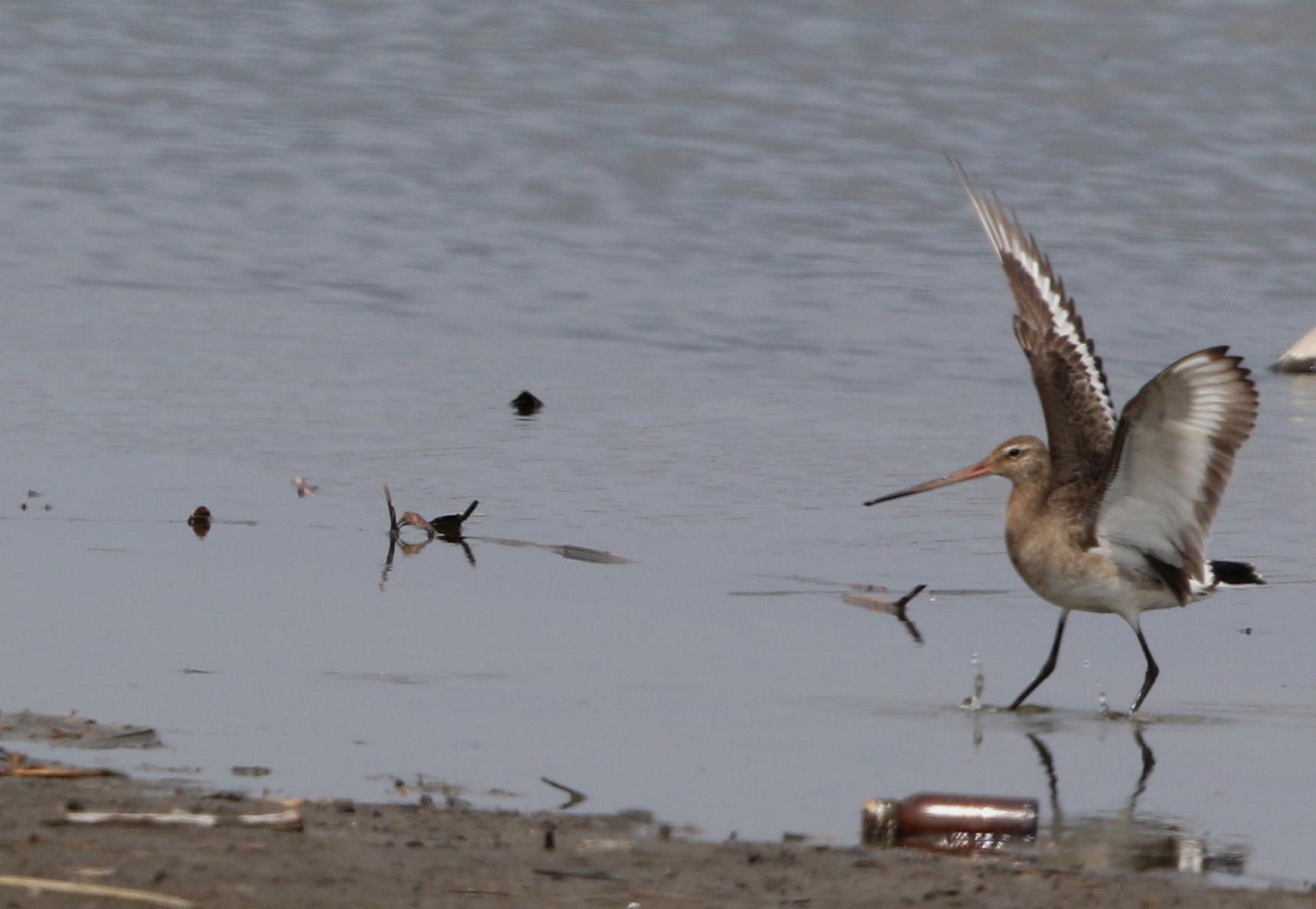 MFの沼でオグロシギを撮る_f0239515_221323.jpg
