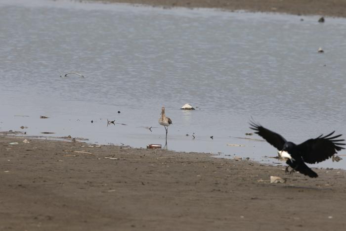MFの沼でオグロシギを撮る_f0239515_2221315.jpg