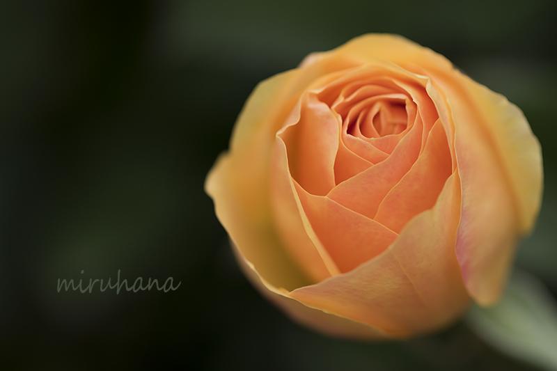 薔薇のような桜と薔薇そして・・。_c0037519_22324700.jpg