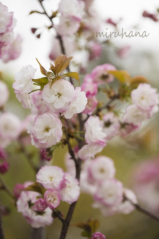 薔薇のような桜と薔薇そして・・。_c0037519_22413549.jpg