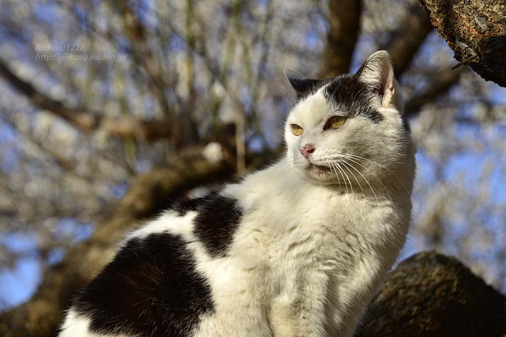 2019.3.10 観梅会☆梅猫モデルは、まおちゃん♪_f0250322_23572376.jpg