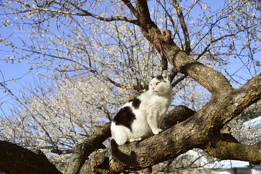 2019.3.10 観梅会☆梅猫モデルは、まおちゃん♪_f0250322_23572810.jpg