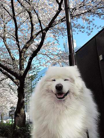 お花見散歩_c0062832_15293591.jpg