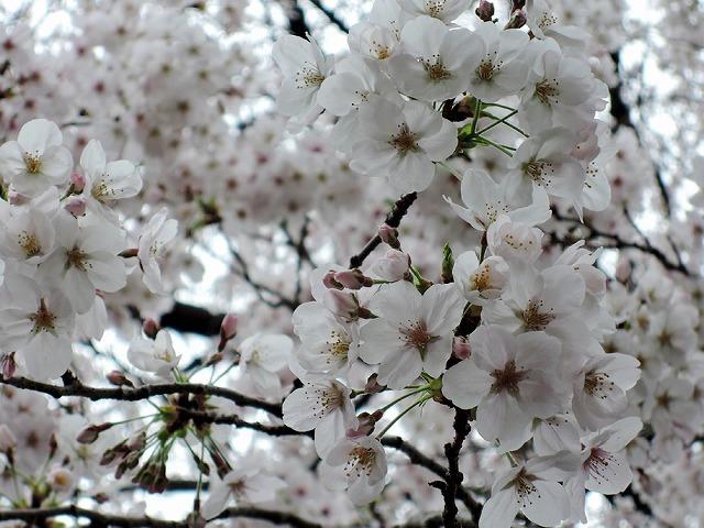 お花見散歩_c0062832_15295205.jpg