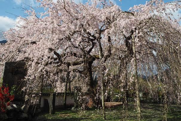 徳島県神山町:明王寺のしだれ桜と、江田の菜の花_b0149340_20522201.jpg
