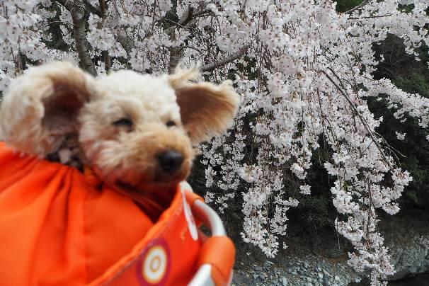 徳島県神山町:明王寺のしだれ桜と、江田の菜の花_b0149340_20580480.jpg