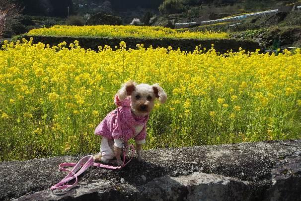 徳島県神山町:明王寺のしだれ桜と、江田の菜の花_b0149340_20593648.jpg