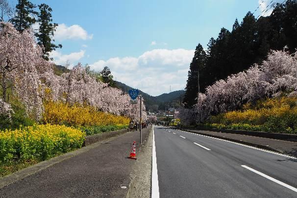 徳島県神山町:明王寺のしだれ桜と、江田の菜の花_b0149340_21011474.jpg