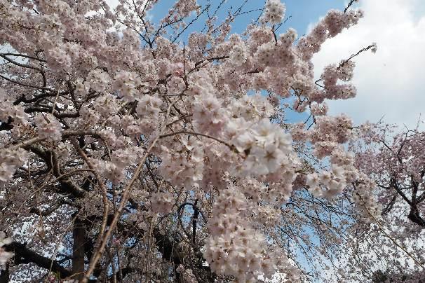 徳島県神山町:明王寺のしだれ桜と、江田の菜の花_b0149340_21113569.jpg