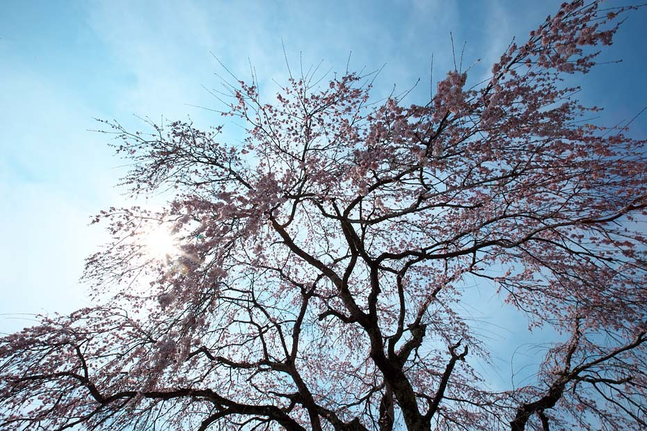 桜便り´19 #4_c0067040_23340626.jpg