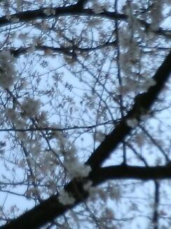 on the cherry tree-lined street_b0136144_16551018.jpg