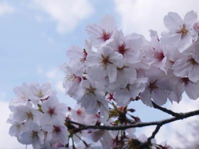 菊池公園、菊池神社の桜photoコレクション 2019_a0254656_18283061.jpg