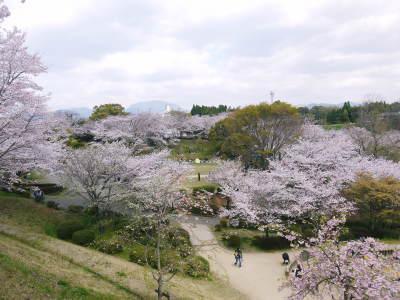 菊池公園、菊池神社の桜photoコレクション 2019_a0254656_18411344.jpg