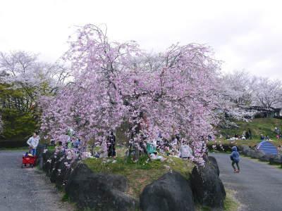 菊池公園、菊池神社の桜photoコレクション 2019_a0254656_18580060.jpg